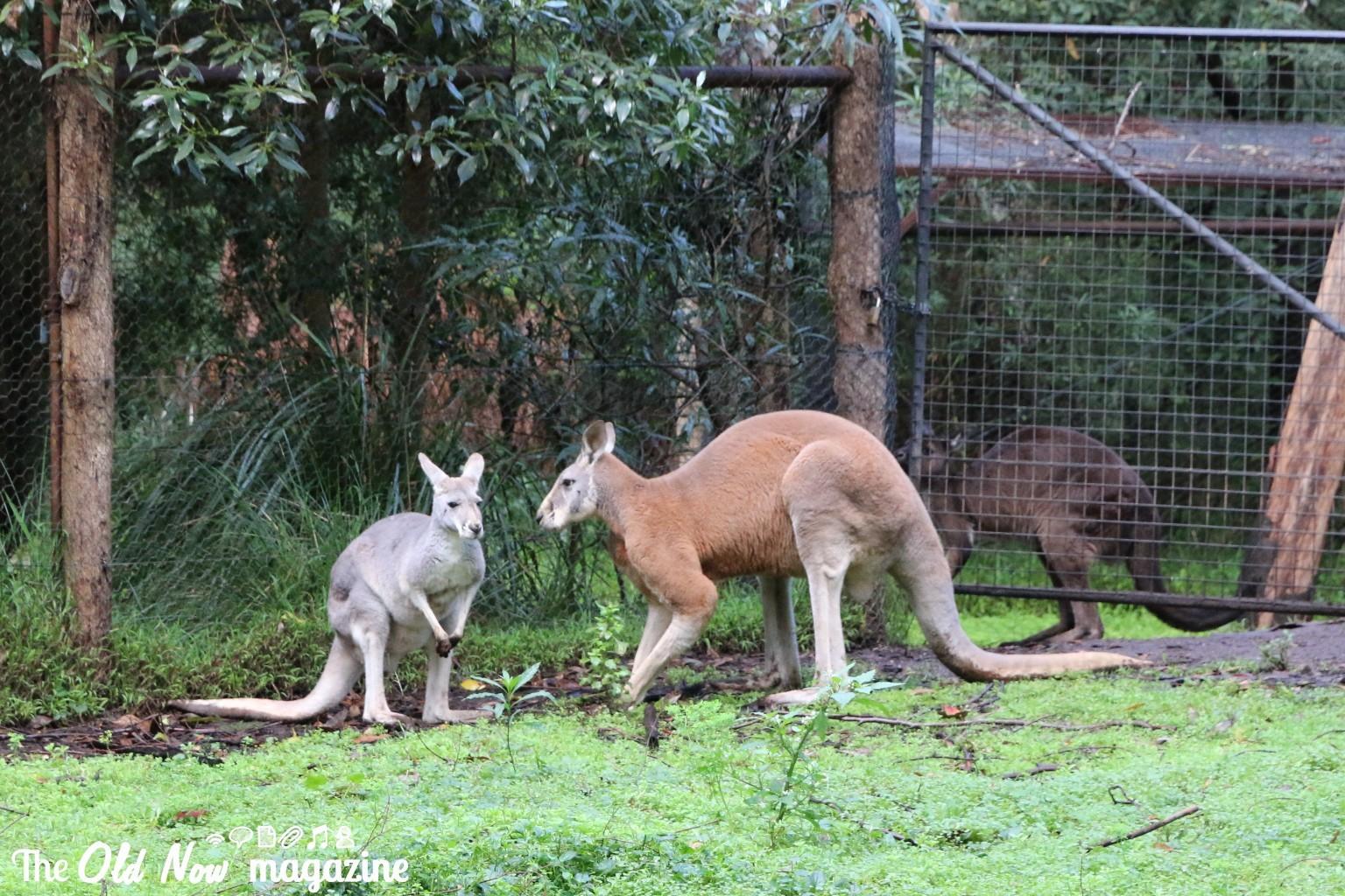 Healesville Sanctuary THEOLDNOW (108)