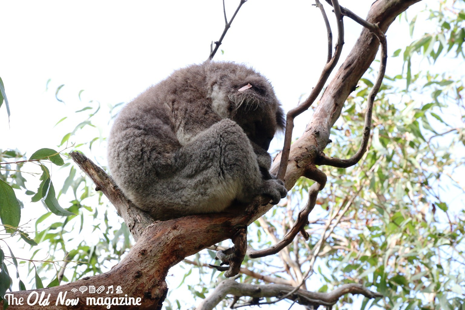 Koala Conservation Centre THEOLDNOW (10)