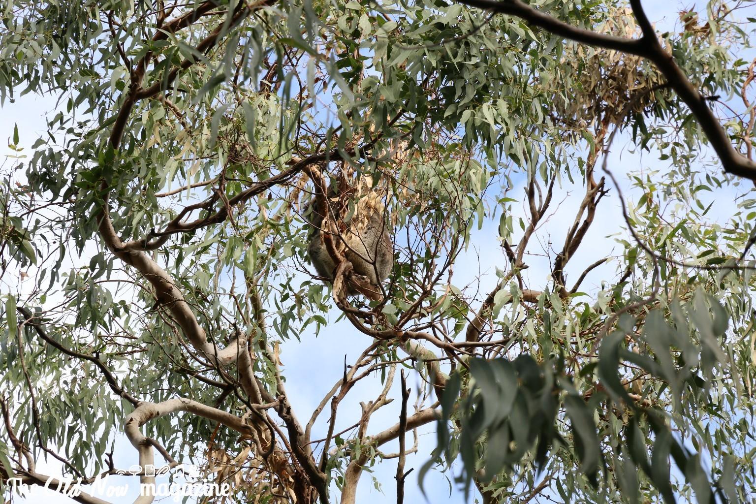 Koala Conservation Centre THEOLDNOW (17)