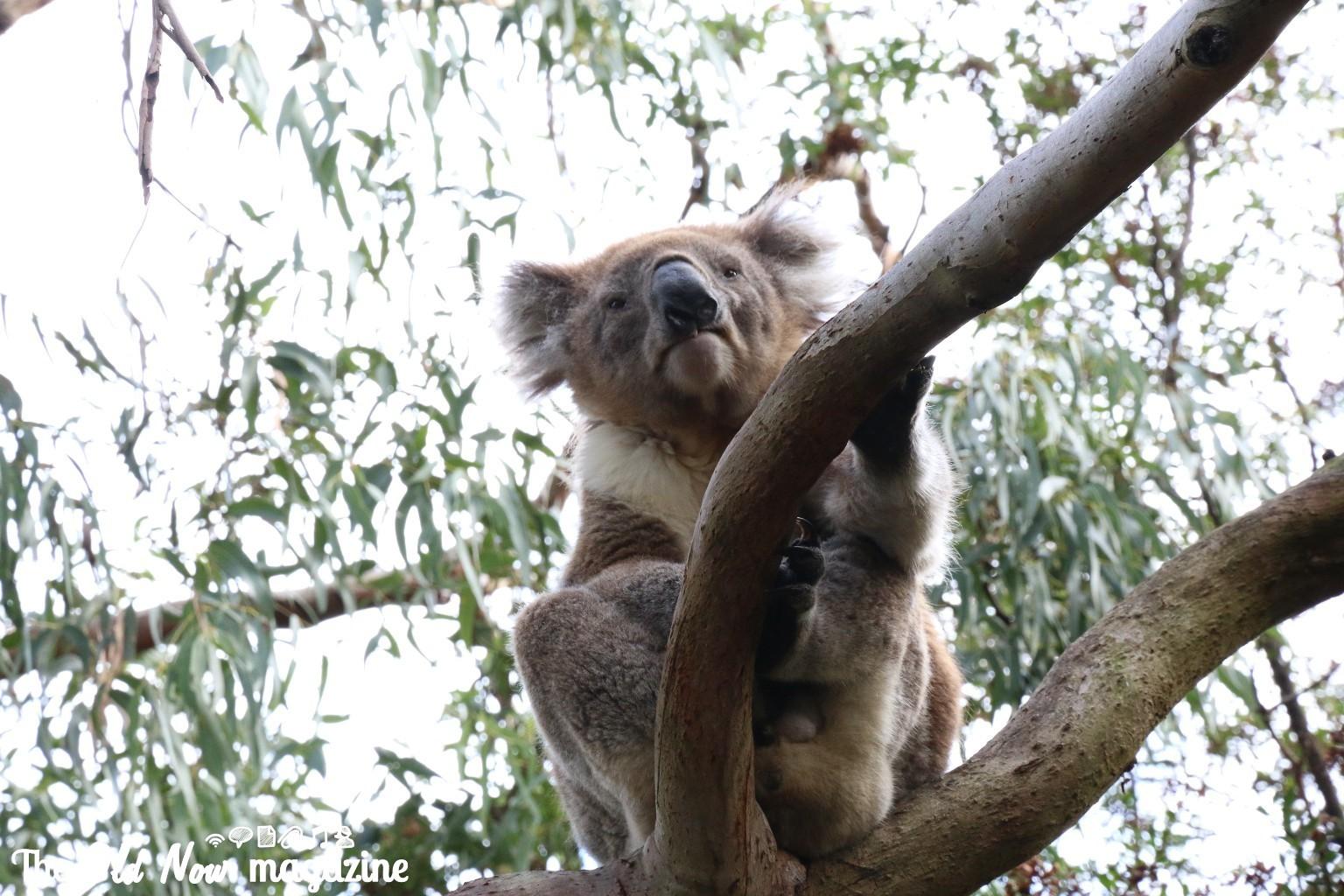 Koala Conservation Centre THEOLDNOW (18)
