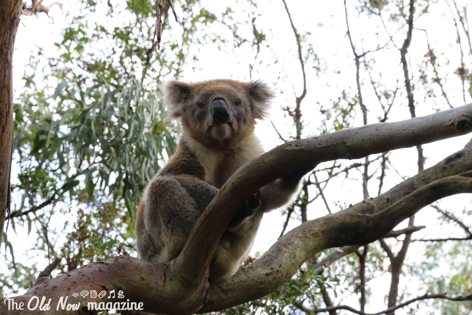 Koala Conservation Centre THEOLDNOW (24)