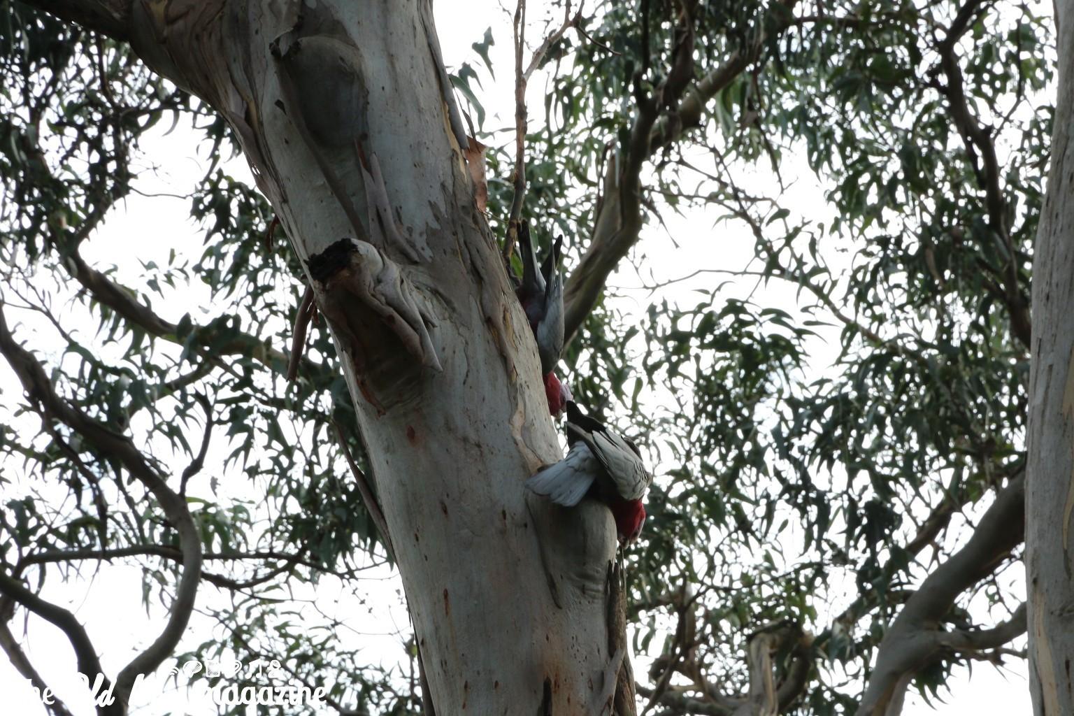 Koala Conservation Centre THEOLDNOW (31)