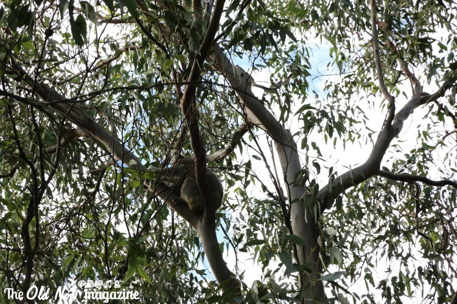 Koala Conservation Centre THEOLDNOW (5)