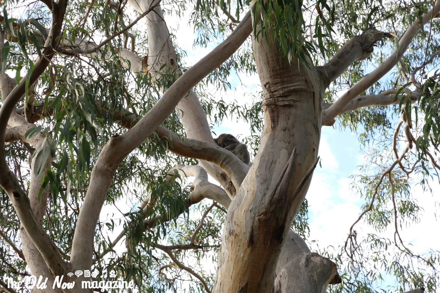 Koala Conservation Centre THEOLDNOW (9)