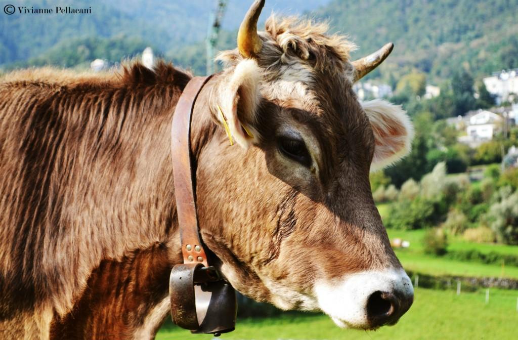 Mucca Valtellina